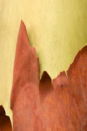The Bark of a Madrone Tree Peels in the Abstract Shapes of Granite Spires in Washington