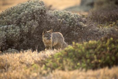Island Fox Hunting in the Late Afternoon on the Channel Islands, California