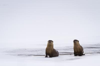 Two Otters Stand by a Water Hole Along Flat Creek in the National Elk Refuge Near Jackson, Wyoming
