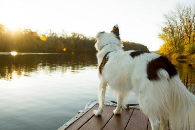 A Border Collie Looks Out over a Lake During an Autumn Sunrise in Eastern Pennsylvania
