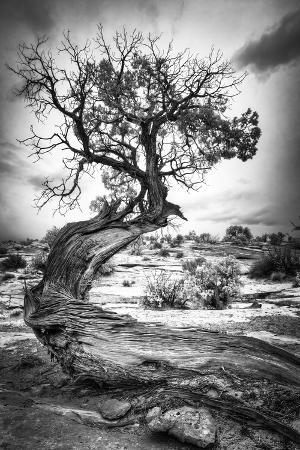 Black and White Image of a Winding Tree in Canyonlands National Park Near Moab, Utah