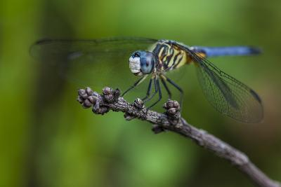 A Dragonfly in the Jean Lafitte National Historical Park and Preserve, New Orleans, Louisiana