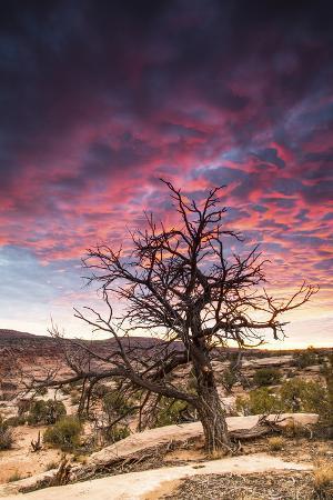 Dead Tree at Sunset, Near Moab, Utah