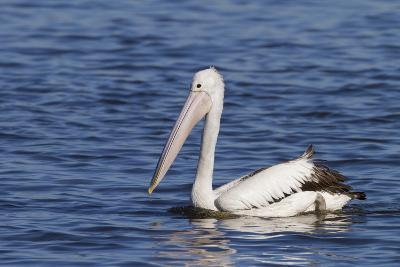 The Australian Pelican Has the Longest Bill of Any Bird in the World