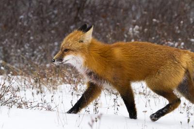 A Red Fox Runs Through Snow in Churchill, Manitoba, Canada