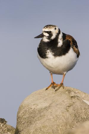 A Ruddy Turnstone in its Breeding Plumage on the Southern California Coast