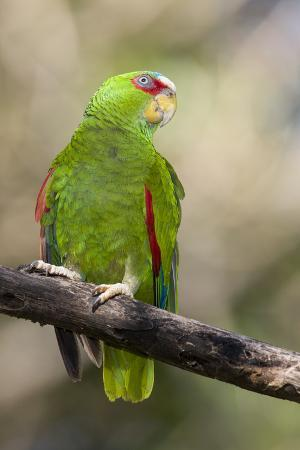 A White-Fronted Parrot in a Costa Rican Dry Forest
