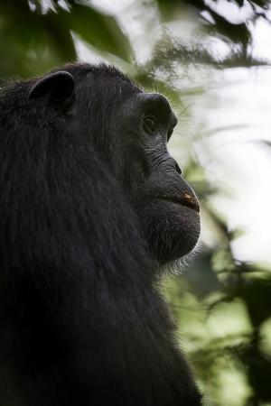 A Male Chimpanzee (Pan Troglodytes) in Kibale National Park, Uganda