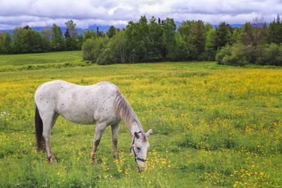 Horse Grazing in a Meadow Filled with Buttercups, New Hampshire