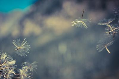 Huge 6 Inch Dandelions Drifting in the Wind at the Base of Maroon Bells. Aspen, Colorado