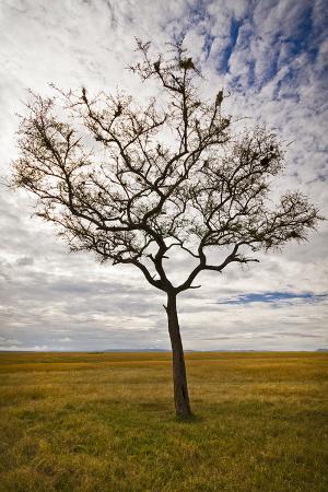 Secluded Tree in the Maasai Mara, Kenya