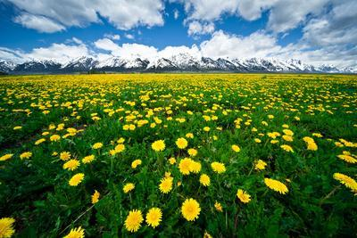 Grand Tetons, Wyoming: a Field of Dandelions Bloom Outside or Mormon Row
