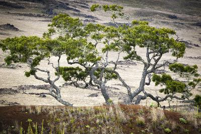 Koa Trees are Set Against Mauna Kea on the Big Island of Hawaii