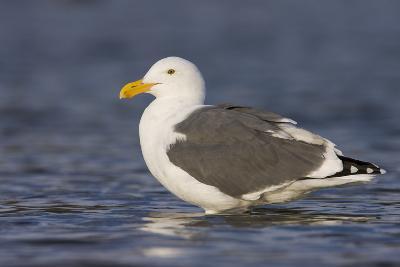 A Western Gull on the Southern California Coast