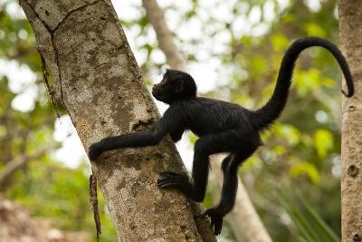 A Baby Peruvian Spider Monkey Climbs a Tree in Tambopata Np in the Peruvian Amazon