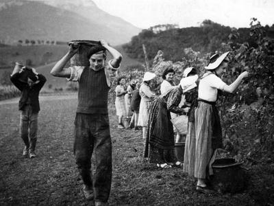 Grape Harvest in the Haut-Grésivaudan in Southern France, 1943
