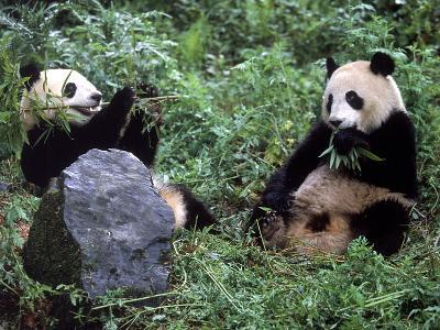 Giant Panda Bears Playing, Sichuan, China