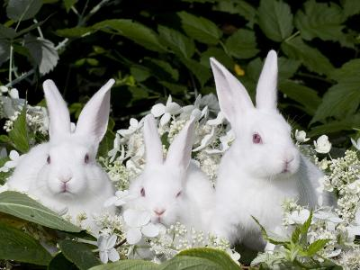 Three Baby White New Zealand Rabbits
