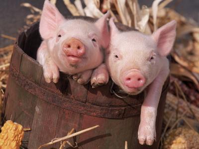 Mixed-Breed Piglets in a Barrel