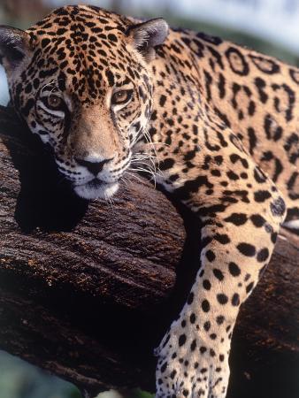 Jaguar Lying on a Tree Limb, Belize