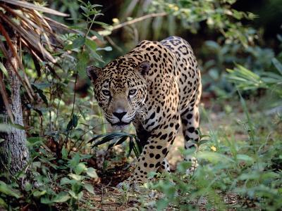 Jaguar Walking Through the Forest, Belize