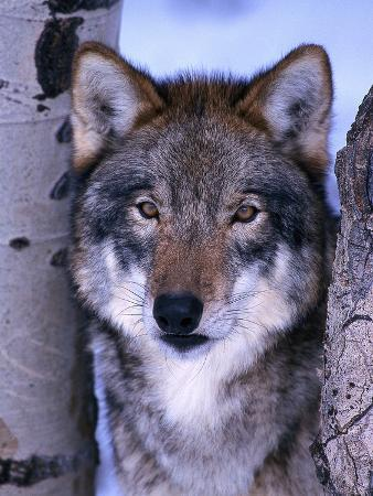 Gray Wolf Standing Between Trees, Canis Lupus
