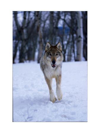 Gray Wolf Running in Snow, Canis Lupus