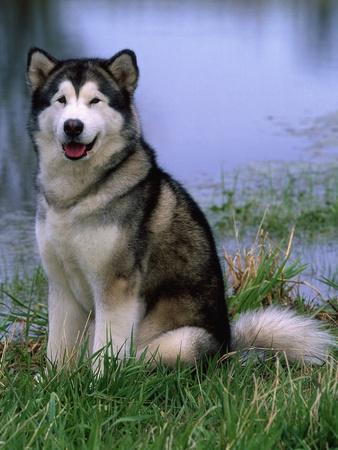 Alaskan Malamute Near a Pond