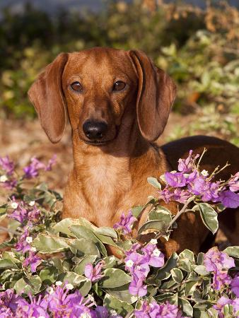 Dachshund in Flowers, Florida