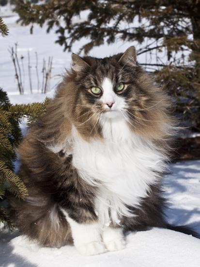 Norwegian Forest Cat In Snow Photographic Print By Lynn M