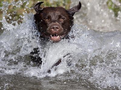 Chocolate Labrador Retriever Water Entry