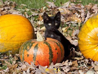 Black Kitten on Pumpkin