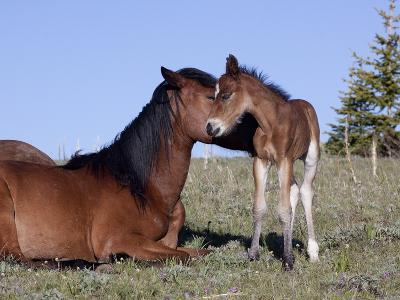 Wild Horse Mare with Foal, Wyoming