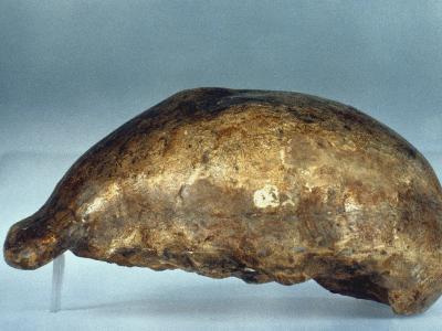 Skull Of Java Man