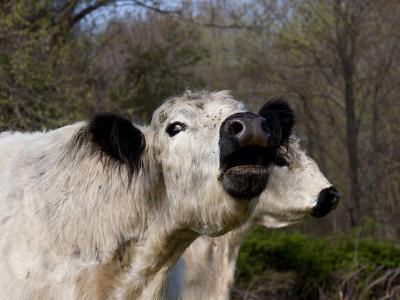 White Galloway Cow Mooing