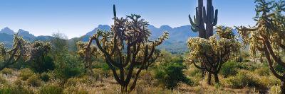 Panorama of Arizona's Desert Cactus.
