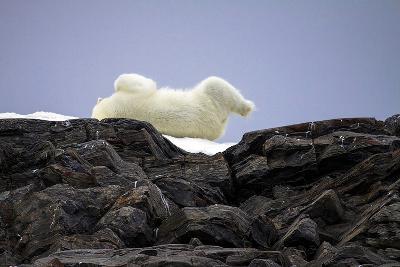 Polar Bear in the North Pole