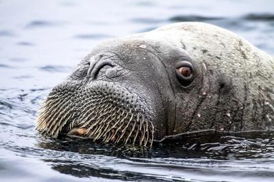 Walrus in Svalbard, Norway