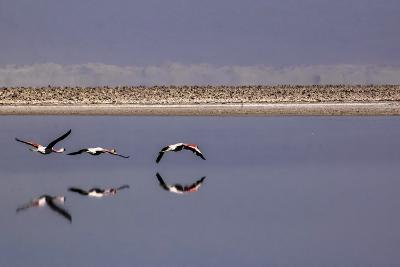 Flying Pink Flamingos in the Salar De Atacama, Chile and Bolivia