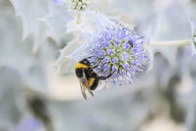 Bumblebee on Flower at Cap Ferret, France