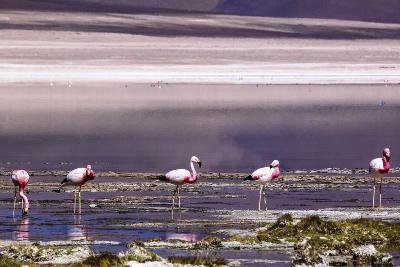 Pink Flamingos in the Salar De Atacama, Chile and Bolivia