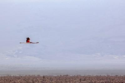 Flying Pink Flamingo in the Salar De Atacama, Chile and Bolivia