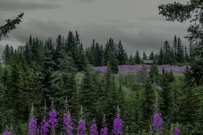 Lupins Near Anchorage, Alaska