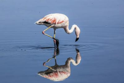 Pink Flamingo from the Andes and its Reflection in the Salar De Atacama, Chile and Bolivia