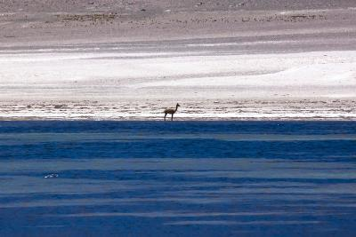 Vicugna in the Atacama Desert, Chile and Bolivia