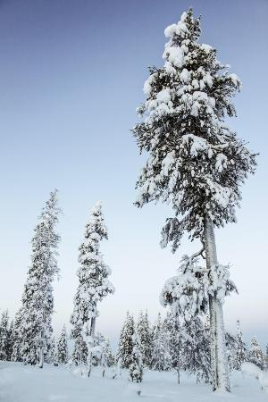 Pine Forest in Lapland, Finland