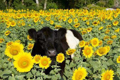 Belted Galloway Cow in Sunflowers, Pecatonica, Illinois, USA