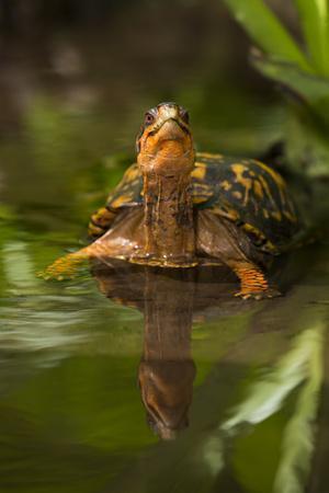 Colorful Male Eastern Box Turtle (Terrapene Carolina Carolina)