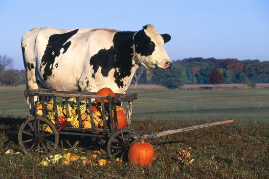 Holstein Cow Standing Next To Wooden Wagon And Its Load Of Gourds