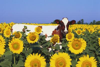 Ayrshire Cow Standing in Field of Sunflowers, Pecatonica, Illinois, USA